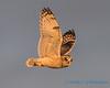 Short-eared Owl - 14