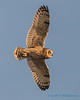 Short-eared Owl - 10