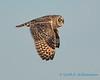 Short-eared Owl - 4