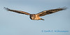 Northern Harrier - 1
