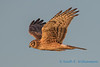 Northern Harrier - 17