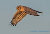 Northern Harrier - 16