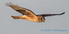 Northern Harrier - 11