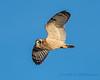 Short-eared Owl - 7