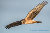Northern Harrier - 2