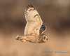 Short-eared Owl - 17