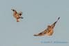 Short-eared Owls - 7