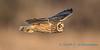 Short-eared Owl - 15