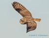 Short-eared Owl - 13