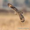Short-eared Owl - 5