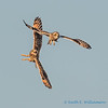 Short-eared Owls - 11