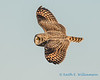 Short-eared Owl - 12