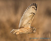 Short-eared Owl - 19