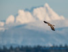 Northern Harrier hawk, with Whitehorse Mountain
