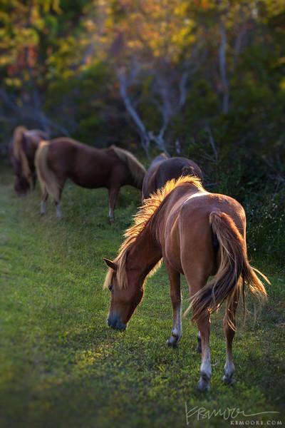 Assateague Ponies at Sunset