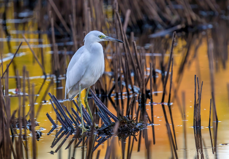 Immature Little Blue Heron at Sunset