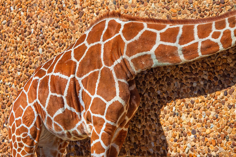 Giraffe Camoflauge