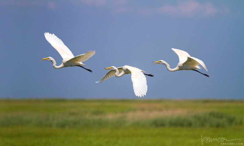 Egrets in formation