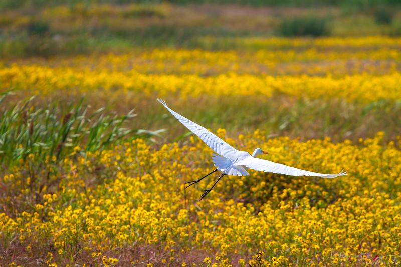 Egret Gliding