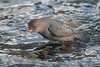 American Dipper (with Salmon egg) - 3