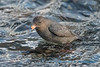 American Dipper (with Salmon egg) - 1