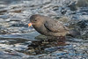 American Dipper (with Salmon egg) - 2