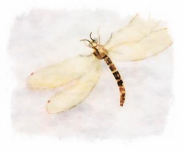 Dragonfly T2  - Copyright 2016 Steve Leimberg - UnSeenImages Com _Z2A4442