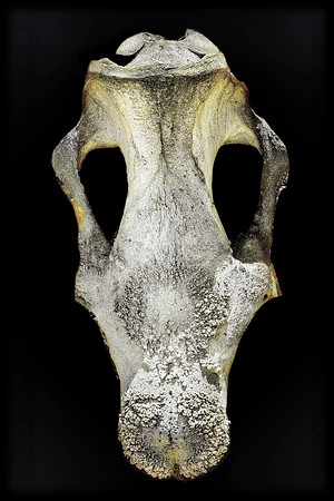 Skull Kenya Copyright 2020 Steve Leimberg UnSeenImages Com _DSC3229 copy