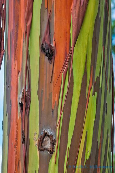 Rainbow Eucalyptus tree bark, Kauai