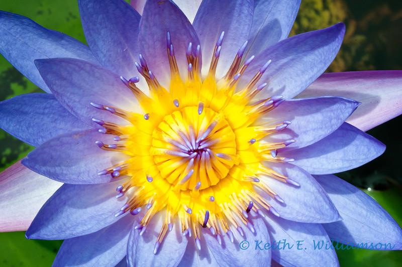 Lotus flower, Kauai