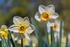 Daffodils, Butchart Gardens