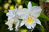 Orchid, McBryde Gardens