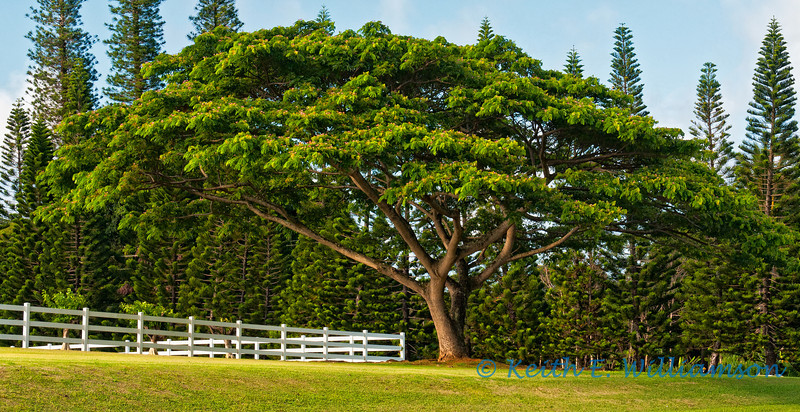 Finally got my favorite tree in good light, after three trips to Kauai