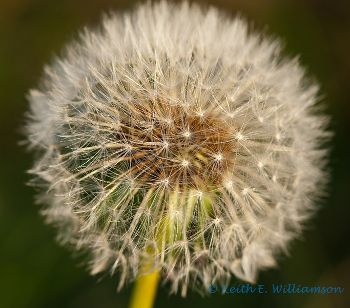 Dandelion head at sunset