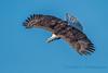 Bald Eagle, Camano Island