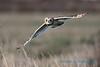 Short-eared Owl, Samish Flats