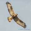 Rough-legged Hawk, Samish Flats