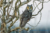 Long-eared Owl, Leque Island