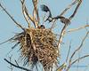 Bald Eagles, swapping parental duties