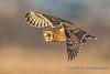 Short-eared Owl, Leque Island
