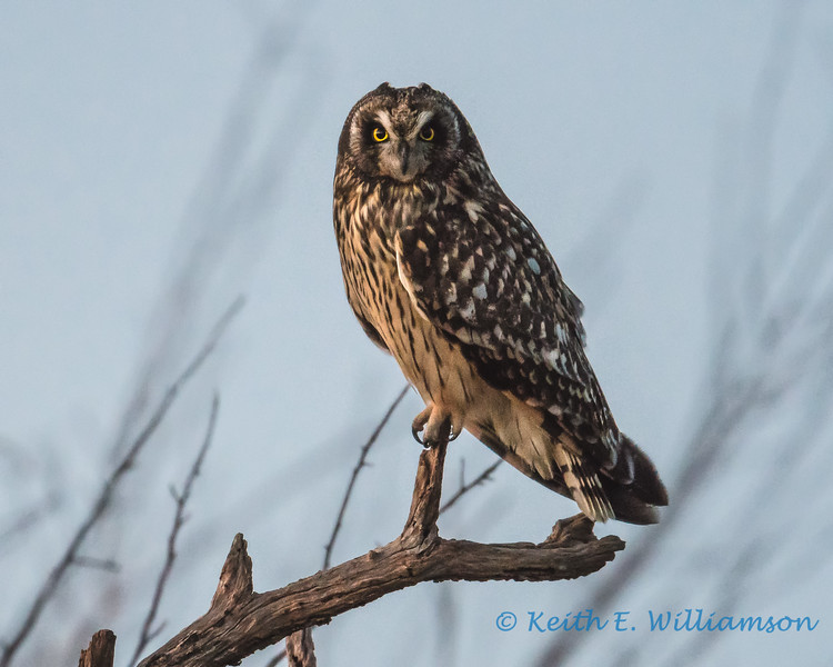 Short-eared Owl, at dusk - 2