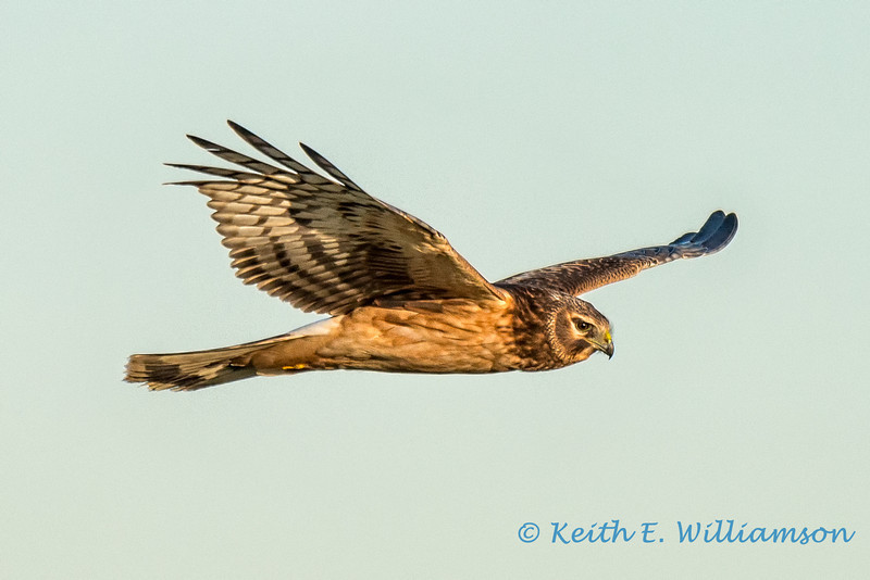 Norhern Harrier Hawk, Samish Flats