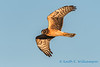 Northern Harrier, Leque Island