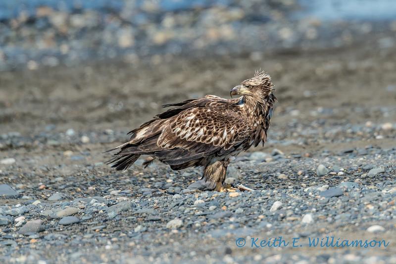 Juvenile Bald Eagle, Ninilchik, Alaska
