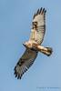 Rough-legged Hawk, Samish Flats