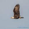 Bald eagle, Samish Flats