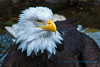 Bald Eagle, Woodland Park Zoo, Seattle