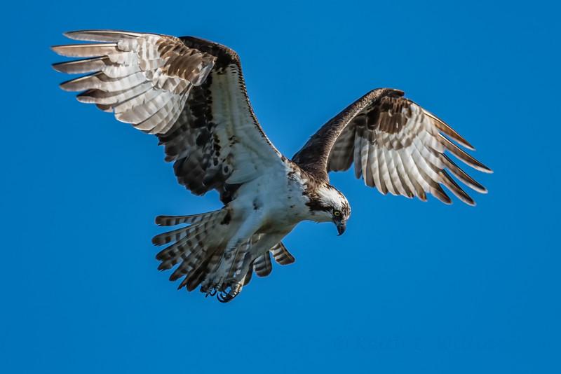 Osprey, Ala Spit, Whidbey Island