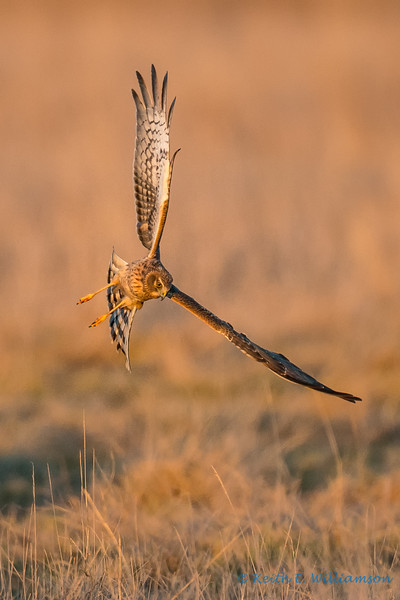 Northern Harrier Hawk, hunting at sunset