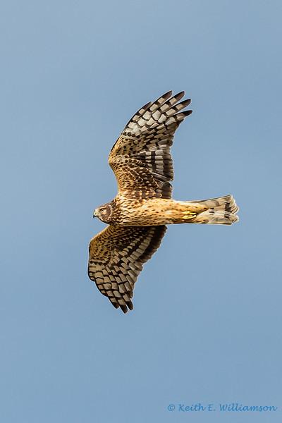 Harrier Hawk, Leque Island